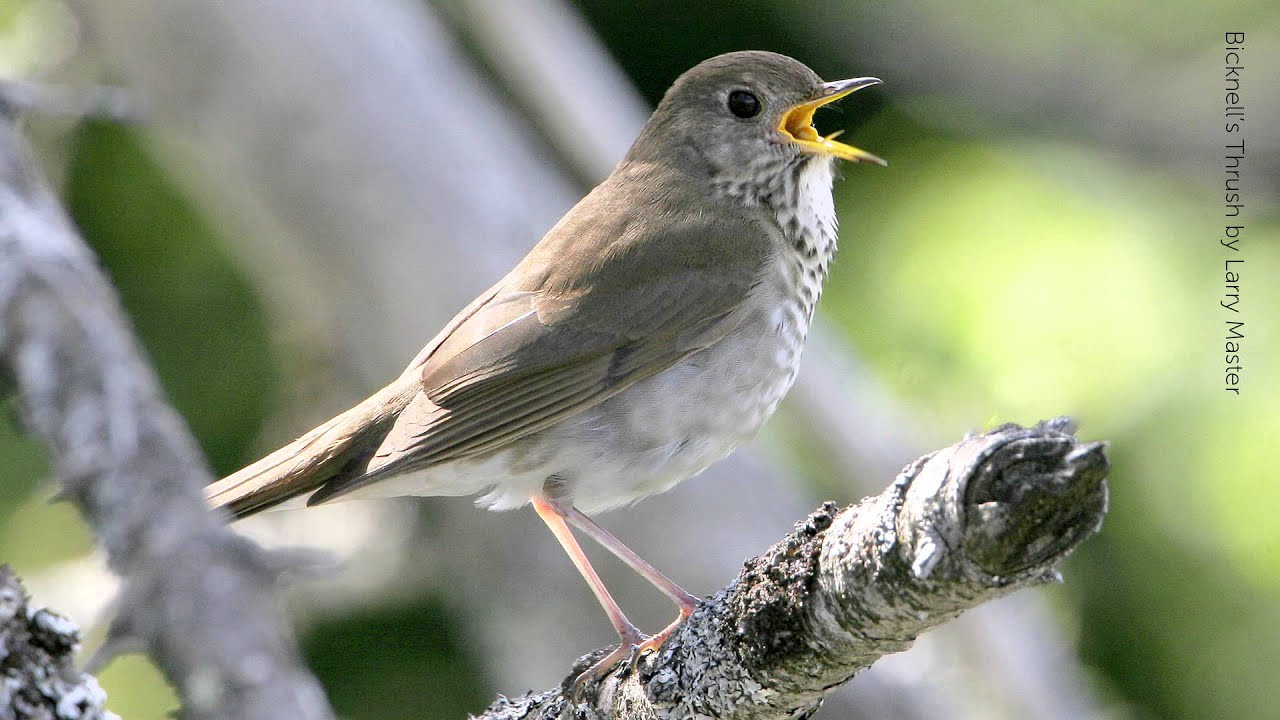 The Bicknell Thrush endangered